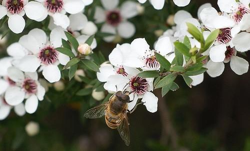 Sữa ong chúa New Zealand từ thiên đường hoa Manuka